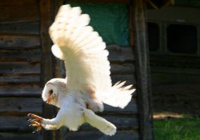 Barn Owl Landing by kindlight