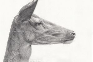 Pencil red deer by makangeni