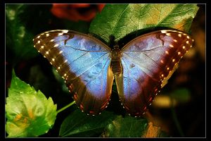 Tropical Butterfly by Amnet