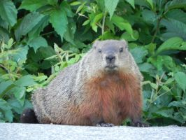 Groundhog 008 by presterjohn1
