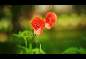 Poppy flower by StefaChaotic