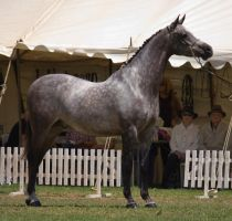 STOCK - TotR Arabians 2013-352 by fillyrox