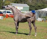 TW Arab rose grey show pose tail flicked on body by Chunga-Stock
