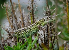 The sand lizard by YashinMaru