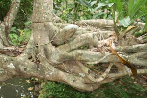 Exposed roots of tree in Fiji by Galadari