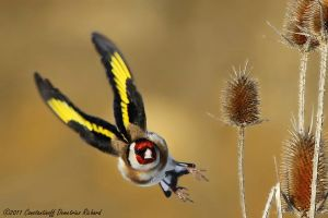 Carduelis carduelis by RichardConstantinoff