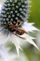 a close view of a wasp by mykindofviolence