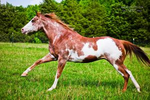 red roan paint horse by venomxbaby