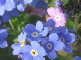 448 blue Forget Me Nots by crazygardener