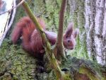 Red squirrel by wesoly-romek
