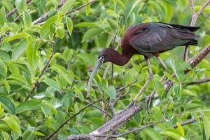 Glossy ibis by CyclicalCore