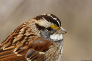 White-Throated Sparrow close up by natureguy