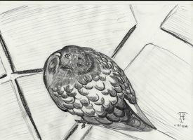 Pigeon by Heckthorn