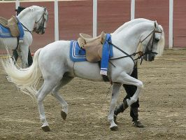 Andalusian horse, cartujano by wakedeadman