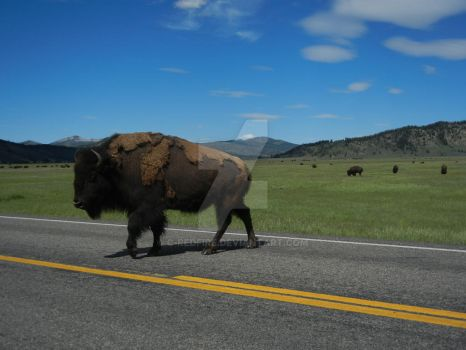 Why did the Bison cross the road... by C-Redfire
