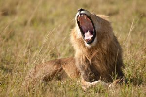 African Lion 76 by catman-suha