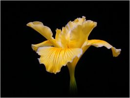 YELLOW IRIS by THOM-B-FOTO