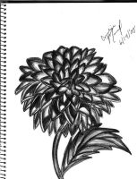 The Black -and White- Dahlia by thecongress