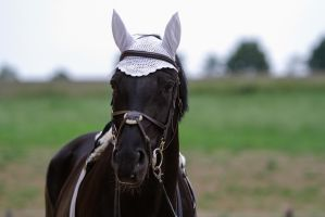 Black Horse with Tack Portrait by LuDa-Stock