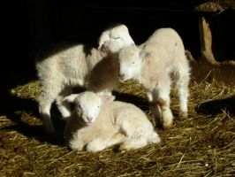 lambs in pile by equusstock