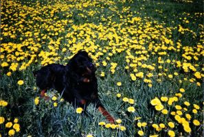 My dog Rocky  Rest in Peace by BLACKNIGHTINGALE81