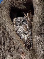 barred owl 2 by cove314