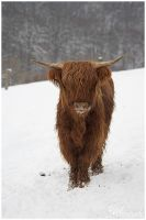 Winter Highland Cattle by Salvas