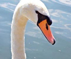 A swan at Bedford by marshmallow-away
