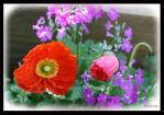 Poppies by inkcat