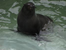 South African Fur Seal by animalphotos