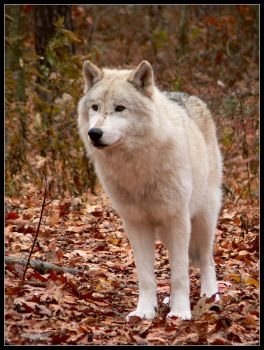 Pale Wolf by nikkiburr