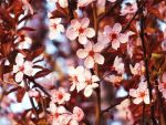 Plum Blossoms by XxSilverOwl13xX
