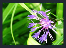 Cornflower by Sadly-heartless