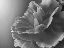 A Carnation in Black and White by tracy-Me