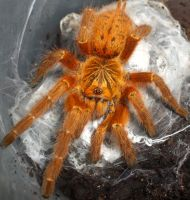 orange baboon tarantula by ENRAGEDBAKU
