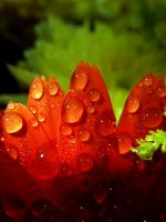 Water on a Petal 3 by Lord-Dip