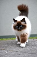 Birman Cat Stock by jojo22