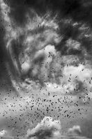 Gulls+Crows monochrome by Coigach