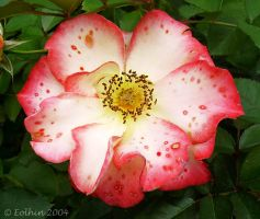 Red Edged Rose I 166 by Eolhin