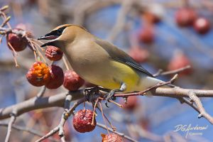 Cedar Waxwing with apples by DGAnder