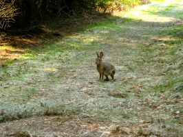 Snowshoe Hare by Feralanoff