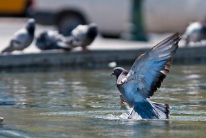 Pond pigeon 2 by agelisgeo