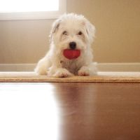Jack Russel Mix VII by LDFranklin