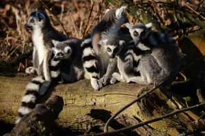 Ring Tailed Lemurs by Mararda