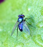 Another Blue Fly by craftworker