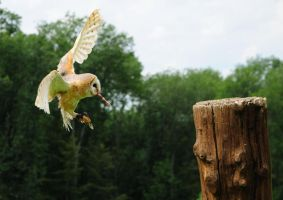 Barn Owl by accroon