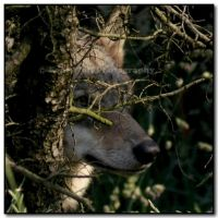 Wolf Eye by LoneWolfPhotography