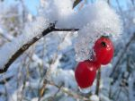 Little berries in the snow by ameliedr