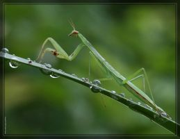 Mantis 40D0012698 by Cristian-M