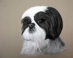 Shih Tzu by eightdaysearly